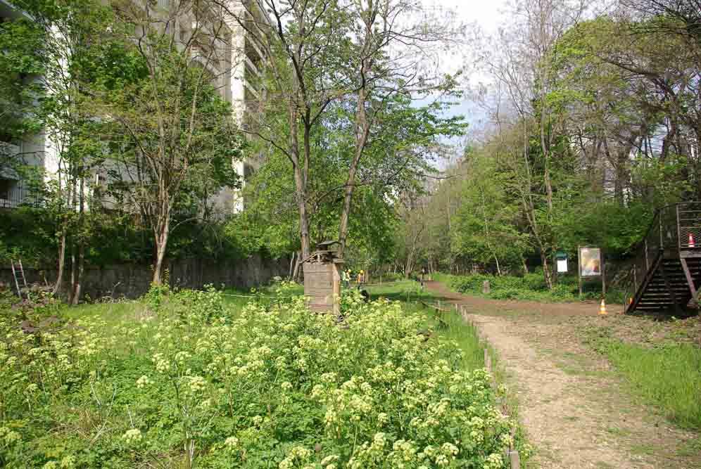 Maceron poussant naturellement sur un carré de verdure, du côté de la porte d'Auteuil